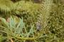 Campanulaceae - Lobelia hypoleuca