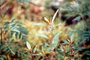 Poaceae - Acalypha sp.