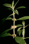 Lamiaceae - Mentha arvensis