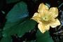 Cucurbitaceae - Cucurbita pepo var. medullosa