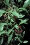 Santalaceae - Santalum album