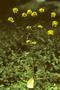 Brassicaceae - Sinapis arvensis