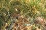 Brassicaceae - Cardamine hirsuta