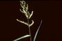 Poaceae - Echinochloa crus-galli