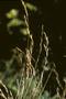 Poaceae - Festuca rubra
