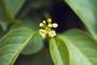 Myricaceae - Morella cerifera