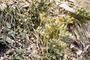 Polygonaceae - Polygonum aviculare