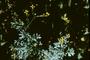 Rutaceae - Ruta graveolens