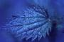 Urticaceae - Urtica urens