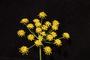 Apiaceae - Foeniculum vulgare