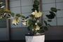 Polygonaceae - Coccoloba x uvifera