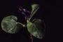 Violaceae - Viola odorata