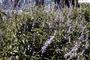 Lamiaceae - Salvia occidentalis