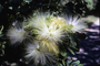 Fabaceae - Albizia lebbeck