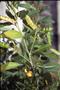 Fabaceae - Cajanus cajan