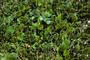 Fabaceae - Canavalia rosea