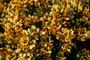 Fabaceae - Cytisus scoparius