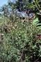 Fabaceae - Macroptilium lathyroides