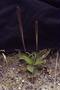 Plantaginaceae - Plantago australis subsp. hirtella