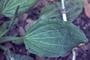 Plantaginaceae - Plantago major