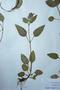 Lamiaceae - Prunella vulgaris