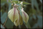 Sapindaceae - Cardiospermum grandiflorum