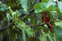 Meliaceae - Sandoricum koetjape
