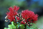 Myrtaceae - Metrosideros collina