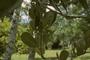 Oleaceae - Noronhia emarginata