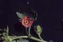 Malvaceae - Modiola caroliniana