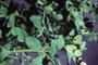 Euphorbiaceae - Euphorbia peplus