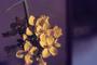 Brassicaceae - Brassica rapa var. rapa