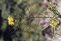 Brassicaceae - Sisymbrium altissimum