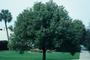 Lauraceae - Cinnamomum camphora