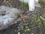 Poaceae - Poa annua var. stricta