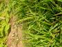 Poaceae - Stenotaphrum secundatum