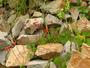 Poaceae - Bromus catharticus