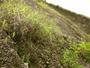 Poaceae - Melinis minutiflora
