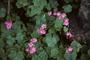Oxalidaceae - Oxalis debilis var. corymbosa