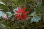 Passifloraceae - Passiflora manicata