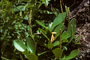 Piperaceae - Peperomia obtusifolia