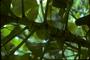 Piperaceae - Piper auritum