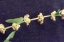 Polygonaceae - Rumex conglomeratus