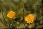 Ranunculaceae - Ranunculus repens var. pleniflorus