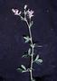Fabaceae - Medicago sativa