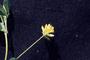 Fabaceae - Trifolium dubium