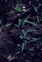Polemoniaceae - Collomia linearis