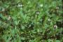 Verbenaceae - Phyla nodiflora