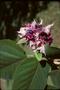 Lamiaceae - Clerodendrum macrostegium
