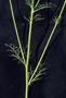 Polemoniaceae - Gilia capitata